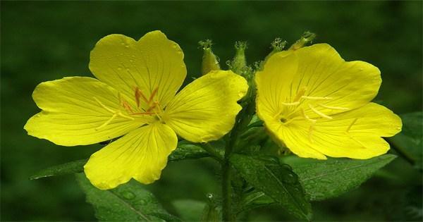 Tinh dầu hoa anh thảo có tác dụng gì? Chị em đã biết?