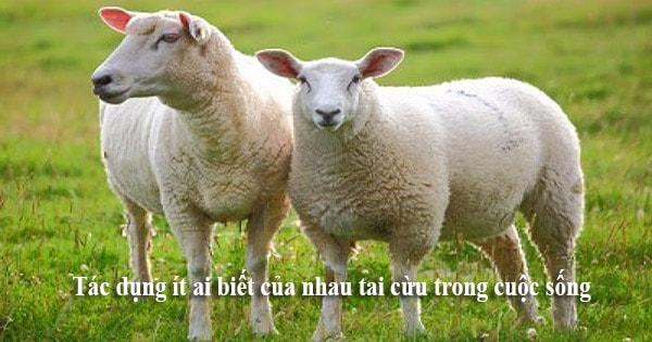 Tác dụng ít ai biết của nhau tai cừu trong cuộc sống