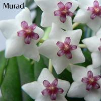 Tinh chất trắng da Murad Luminous Essence 50ml của Mỹ