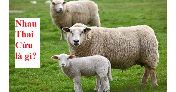 Nhau thai cừu là gì? Nhau thai cừu loại nào tốt nhất