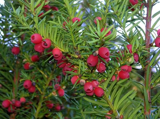 Cây thông đỏ Hàn Quốc